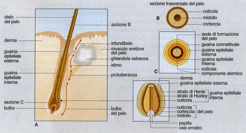 Anatomia del follicolo pilifero.