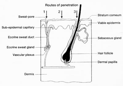 Valutazione di penetrazione dei principi attivi per la cura dei capelli (figura 1)